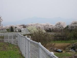 月夜野中学校の桜が満開です