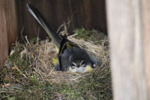 キセキレイが下駄箱に巣を作っていました